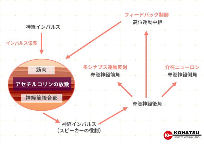 筋収縮システム
